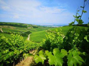 A szőlő innovatív növényvédelme a Biocont Magyarország Kft. megoldásaival