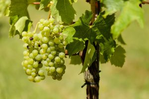 Biológiai növényvédelem a szőlő feketerothadás ellen