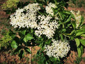 a-fekete-bodza-termesztese-es-okologiai-novenyvedelmi-lehetosegei-1