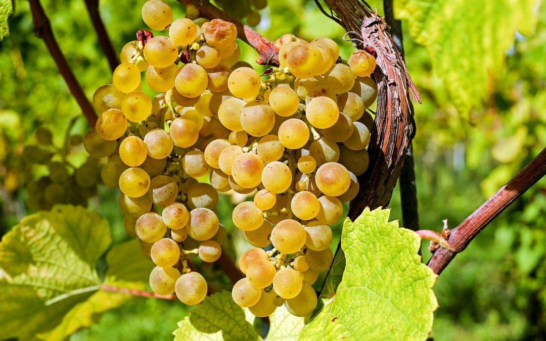 A 2021-es évjárat sajátosságai a szőlőültetvényekben
