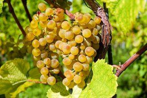 szőlő biológia ivényvédelem